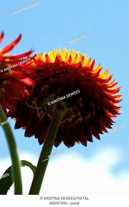 The view from beneath a red and yellow strawflower