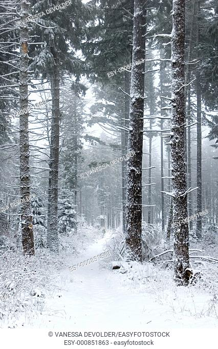 Winterscene  Trees covered with snow  Location: France, Vosges