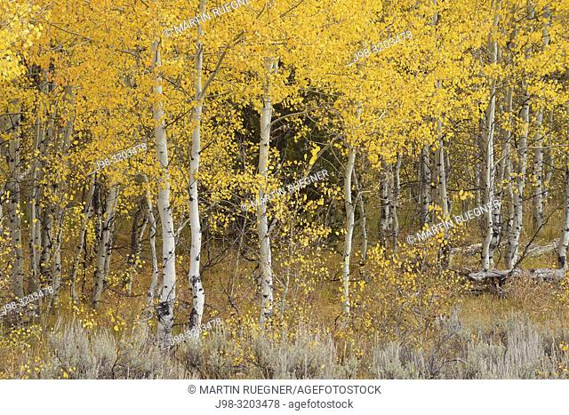 Aspen trees (Populus tremuloides) in forest, autumn foliage. Grand Teton National Park, Jackson, Wyoming, USA, North America