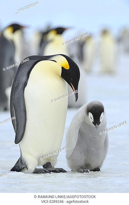Emperor penguins, Aptenodytes forsteri, with a Chick in Penguin Colony, Snow Hill Island, Antartic Peninsula, Antarctica