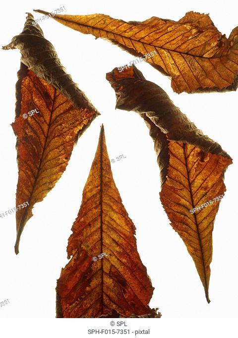 Horse chestnut (Aesculus hippocastanum) leaves, studio shot