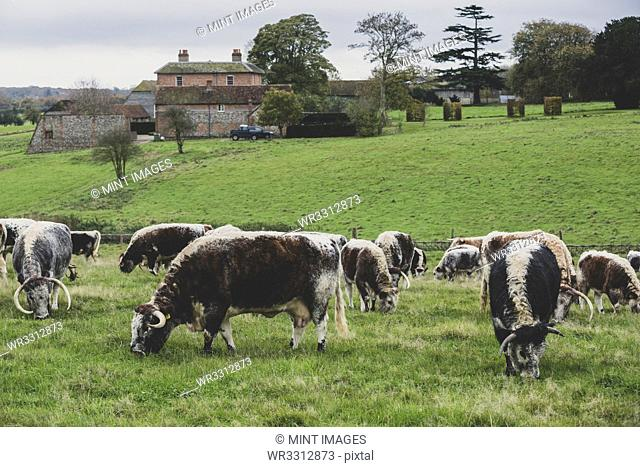 Herd of English Longhorn cows grazing on a pasture