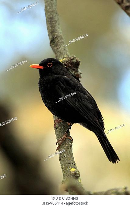 Blackbird,Turdus merula,South Australia,Australia,adult male on branch