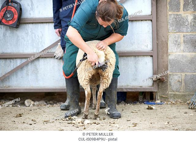 Sheep sheerer sheering sheep on farm