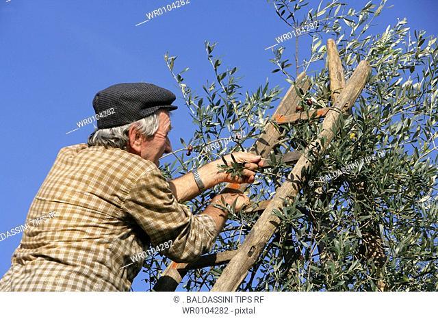 Man picking olives