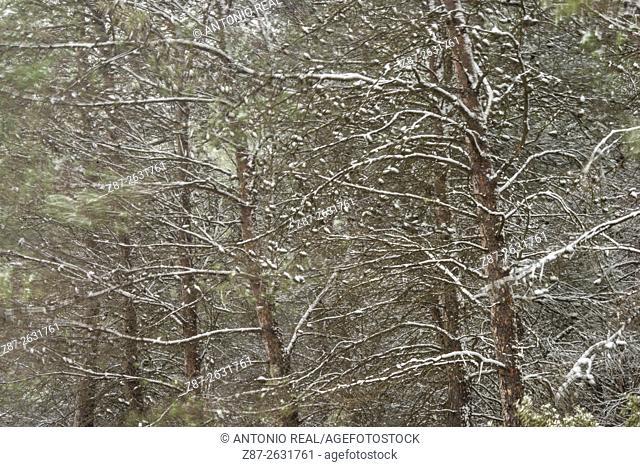 Snowfall, pinewood, Almansa, Albacete province. Spain