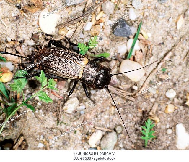 gryllus campestris / field cricket