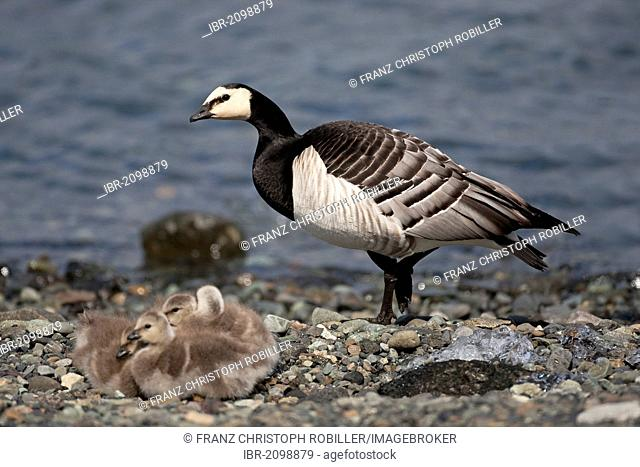 Barnacle Goose (Branta leucopsis), adult bird with fledglings, Joekulsarlon, Iceland, Europe