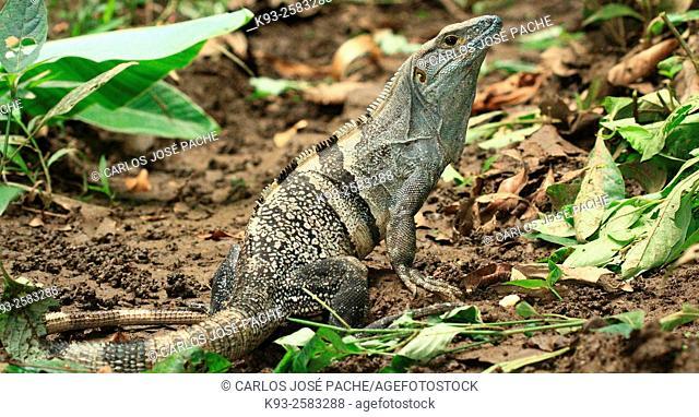 Garrobo ó (Ctenosaura similis). Parque Nacional de Manuel Antonio, Costa Rica