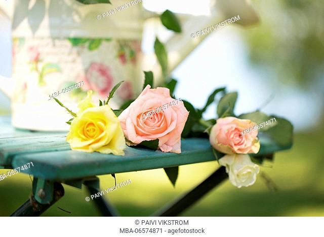 Roses with lovely watering can on a garden chair, outdoors in the garden