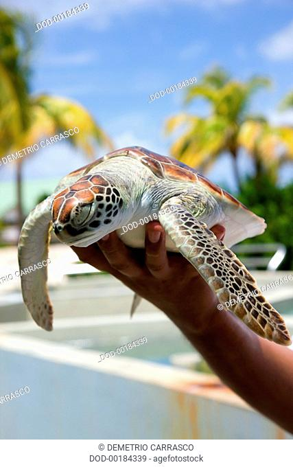 Tourist holding turtle, Boatswain's Beach, Grand Cayman, Cayman Islands