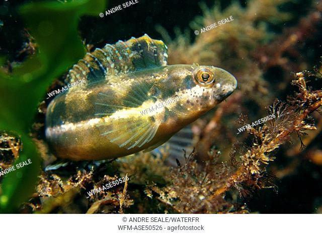 Striped poison-fang blenny mimic perching on kelp, Petroscirtes breviceps, Munsom Island, Jeju-Do, South Korea