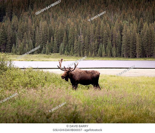 Moose in Field near Water