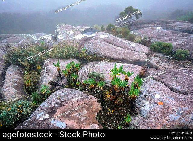 Early foggy morning scene - endemic shrubs and low vegetation growing in rocky terrain of Andringitra National Park as seen during trek to Pic Boby...