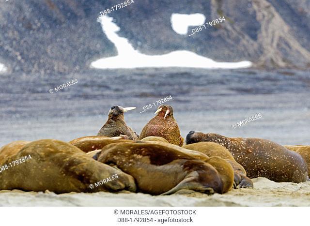 Norway, Svalbard , Walrus Odobenus rosmarus resting in beach colony