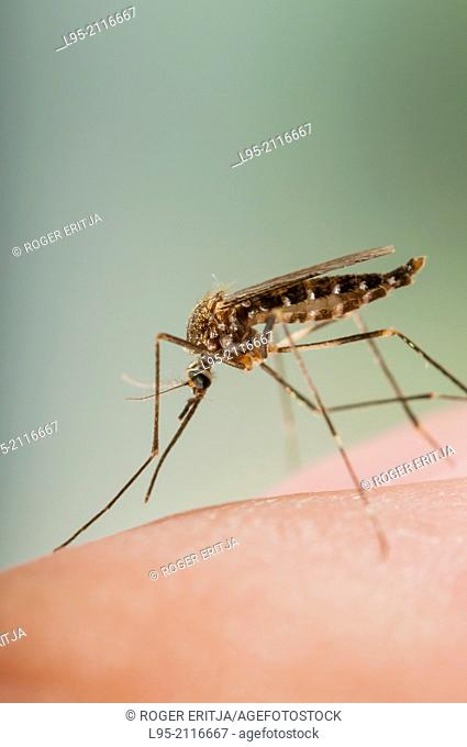 Aedes japonicus invasive mosquito species to Central Europe, bloodfeeding on human skin