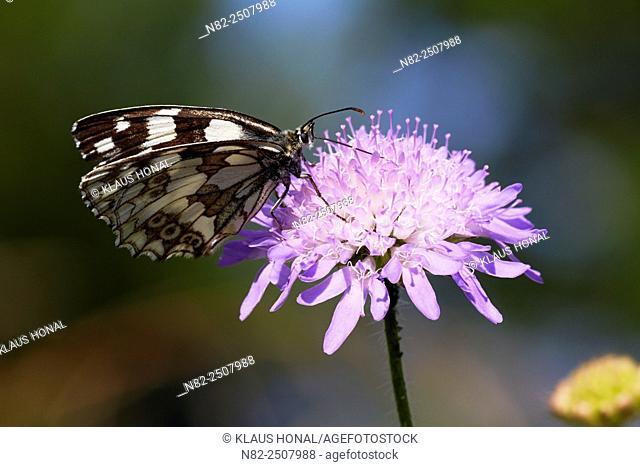 Marbled White Butterfly Melanargia galathea on Field Scabious Knautia arvensis - Hesselberg region, Bavaria/Germany