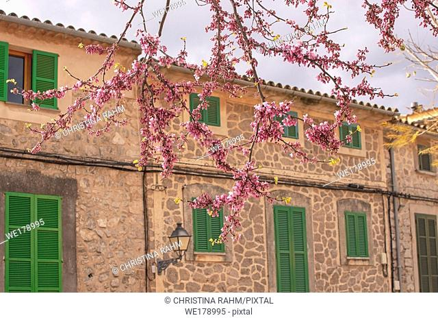 Beautiful blossoming tree in pink against old traditional stone house with green window shutters in Valldemossa, Majorca, Spain
