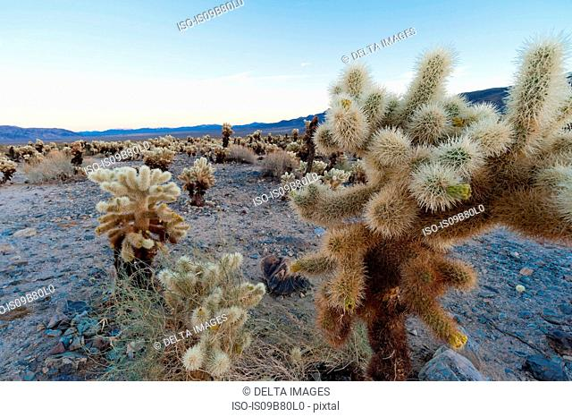 Cholla Cactus Garden, Joshua Tree National Park, California, USA