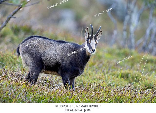 Chamois (Rupicapra rupicapra) on mountain slope, Vosges, Hohneck, France