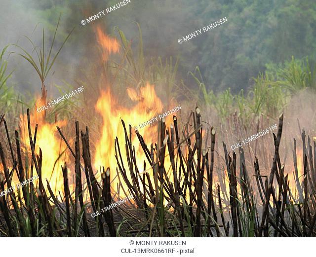Sugar Cane Being Burnt