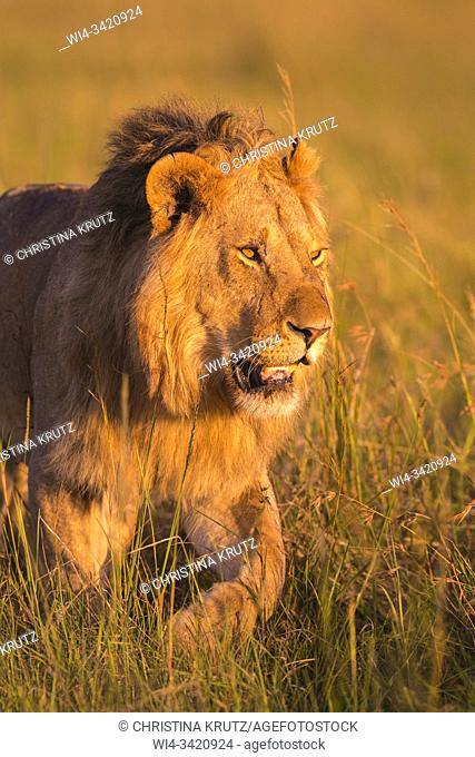 African Lion (Panthera leo), male walking in tall grass, Masai Mara National Reserve, Kenya