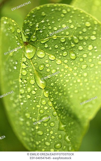 Droplets on Anthurium leaf