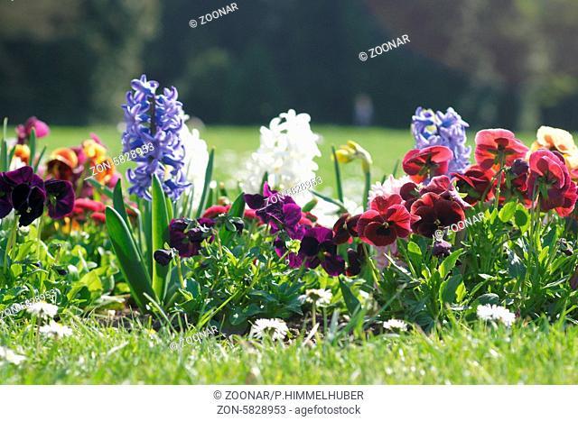 Viola x wittrockiana, Stiefmütterchen, Pansies