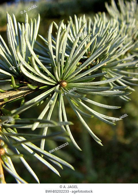 Blue cedar (Cedrus atlantica 'Glauca', Cedrus atlantica Glauca), short shoot