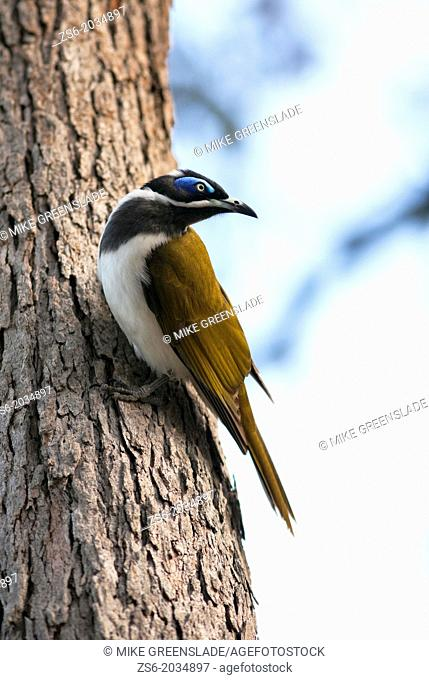 Black-Chinned Honeyeater (Melithreptus gularis), Yuraygir National Park, NSW, Australia