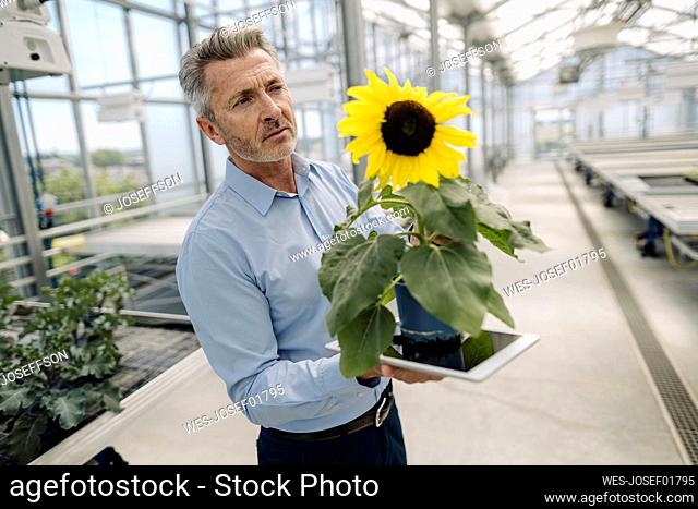 Businessman holding digital tablet and sunflower while standing in greenhouse