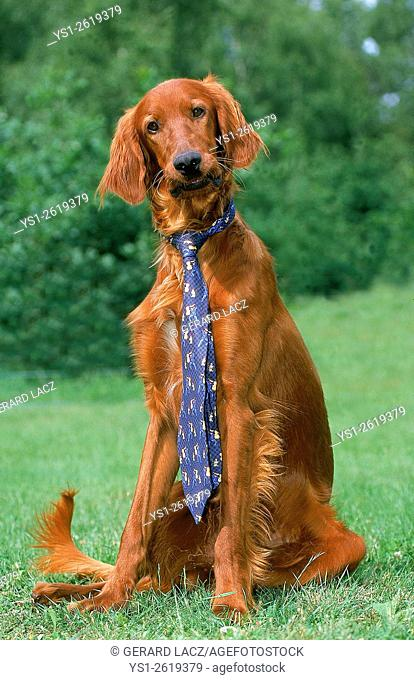 Iirish Setter or Red Setter, Dressed Dog, Wearing Tie