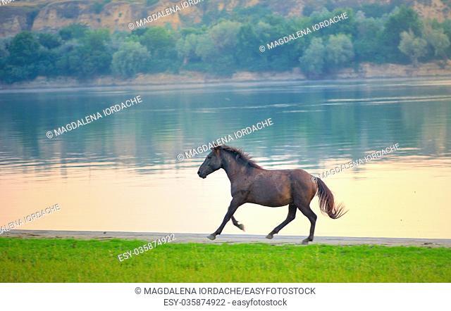 Wild horse running near Danube river