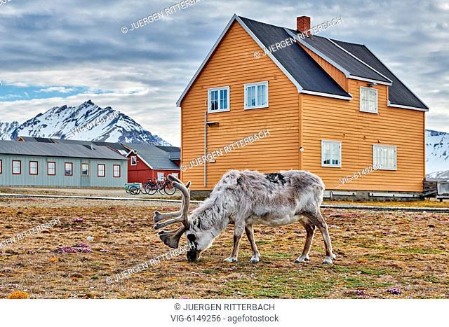 Svalbard reindeer (Rangifer tarandus platyrhynchus) in town of Ny-Ålesund, Svalbard or Spitsbergen, Europe - Ny-Ålesund, Svalbard, 23/06/2018