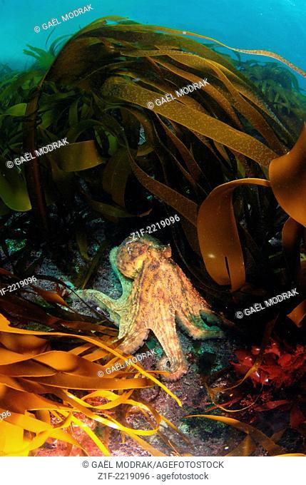 Common octopus through the furbelows. Octopus vulgaris