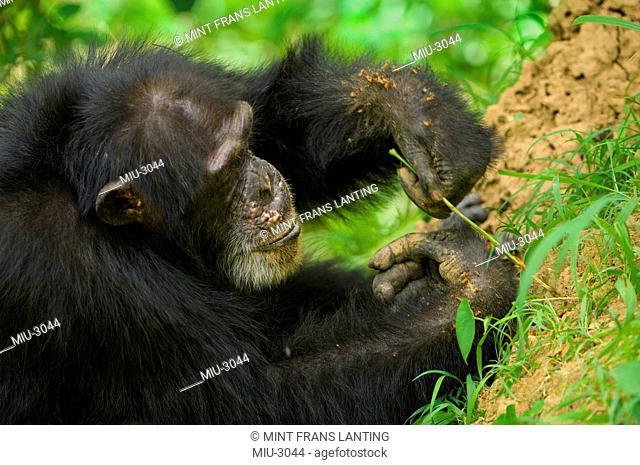 Chimpanzee male fishing for termites, Pan troglodytes verus, Fongoli, Senegal