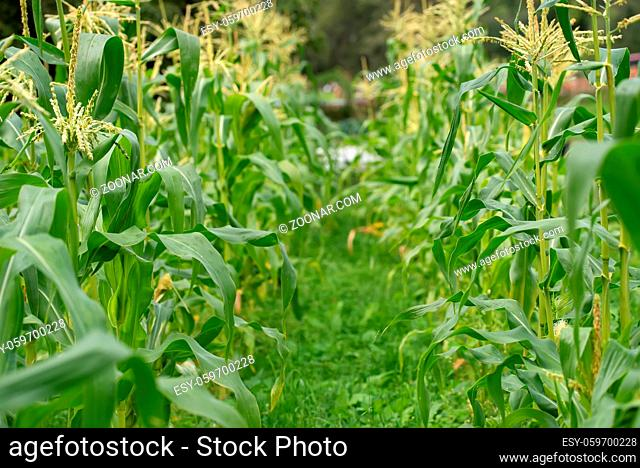 loseup of a green leaf from maize or corn plant in the field