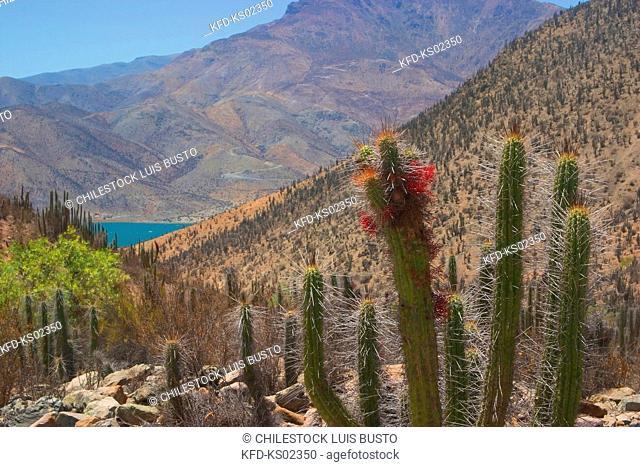 Chile, Region of Coquimbo, Cactus in the Elqui Valley, Puclaro Dam