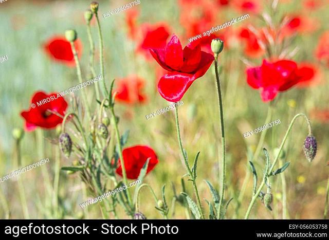 wild poppy flowers - soft focus