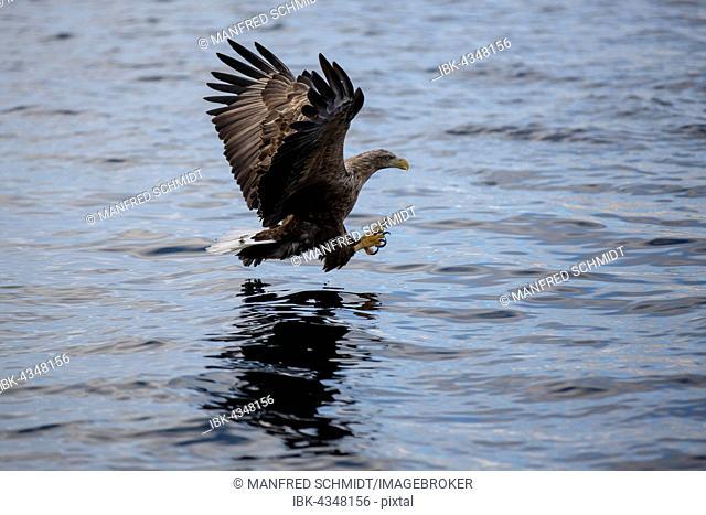 Eagle (Haliaeetus albicilla) flying and hunting over the water, Raftsund, Lofoten, Nordland, Norway