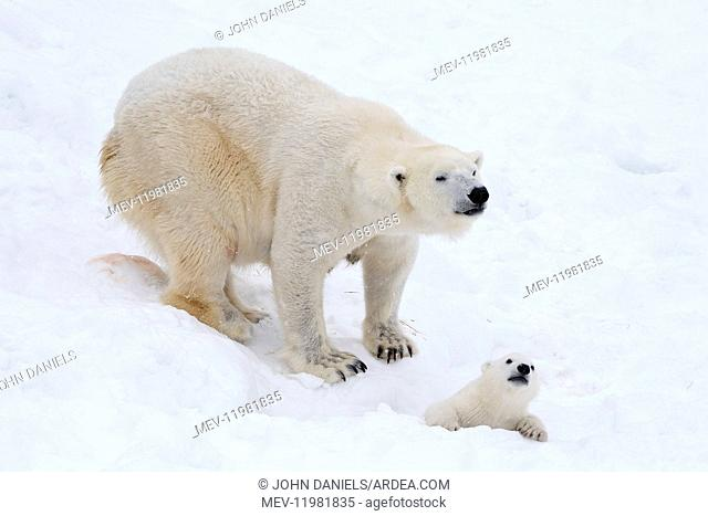 Mammal. Polar Bear in snow, playing with its 4 month old cub