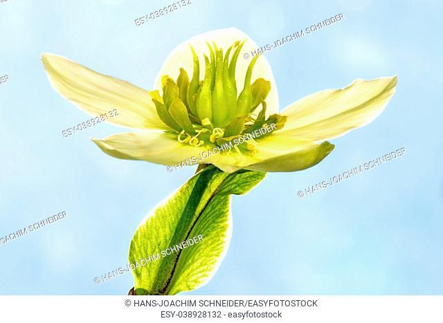 blooming hellebore, medicinal herb with flower