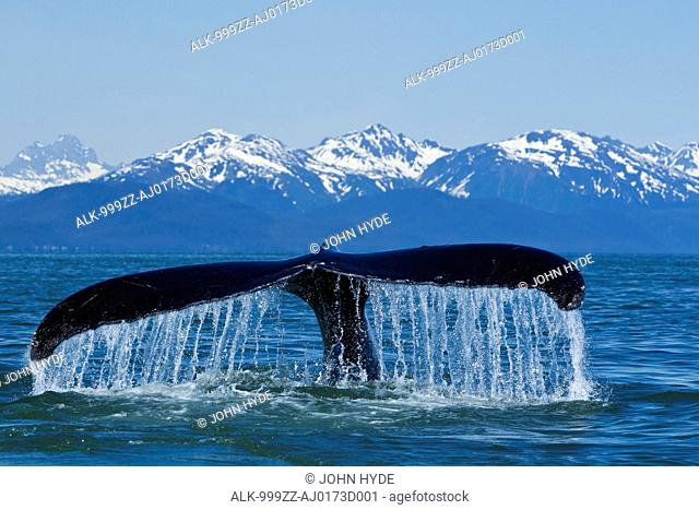 Humpback Whale fluking in Lynn Canal with Chilkat Mountains in the distance, Inside Passage, Southeast Alaska, Summer