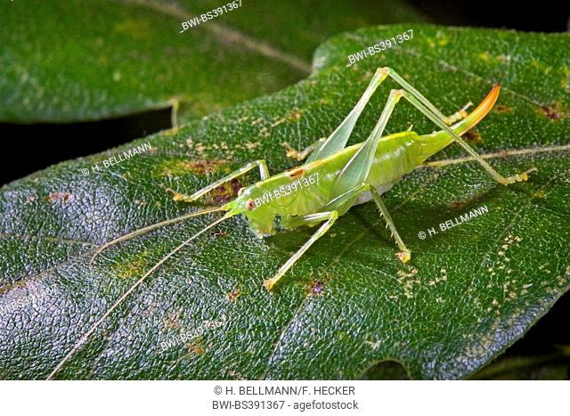 Southern oak bush-cricket, Southern oak bush cricket (Meconema meridionale), female, Germany