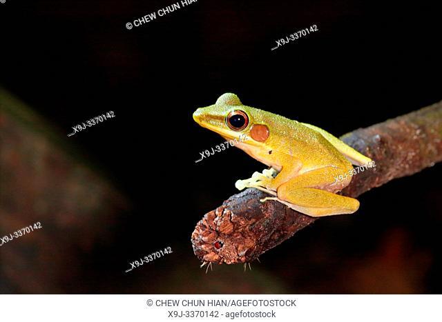 Schlegel's Java Frog (Hydrophylax chalconotus), Malaysia