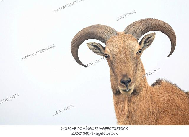 Barbary Sheep (Ammotragus lervia) portrait. Introduced specie. Sierra Espuña Natural Park. Region of Murcia. Spain