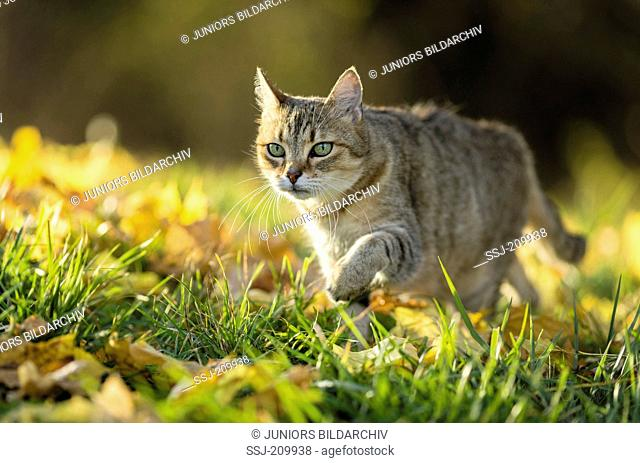 British Shorthair Cat. Tabby adult walking in leaf litter. Germany