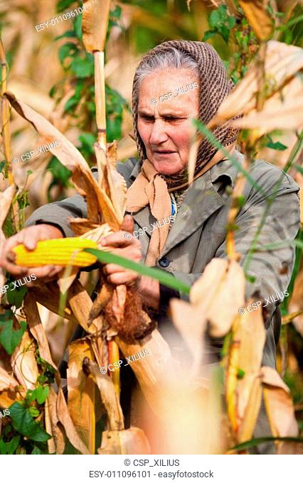 Portrait of a senior woman harvesting corn