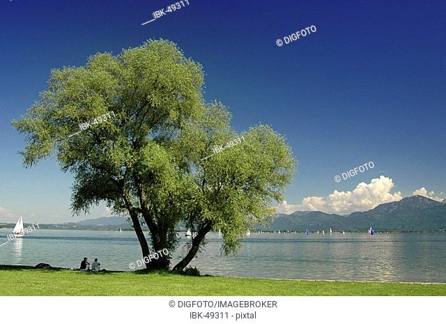 Solitary willow, lake Chiemsee, Bavaria, Germany