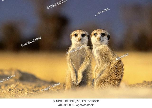 Meerkat or suricate (Suricata suricatta). Kgalagadi Transfrontier Park, Kalahari. South Africa